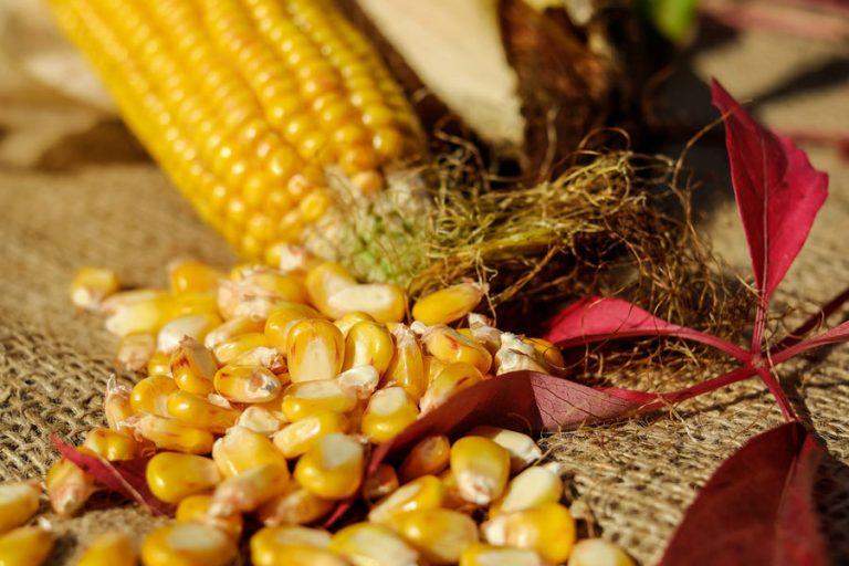 Koruzna zrna