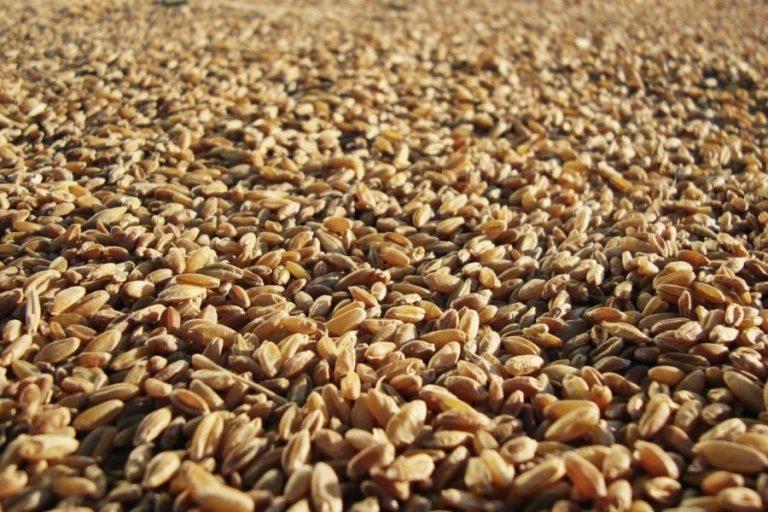 Pšenična zrna
